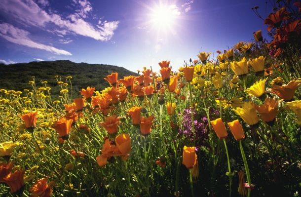 California Poppies and Sun